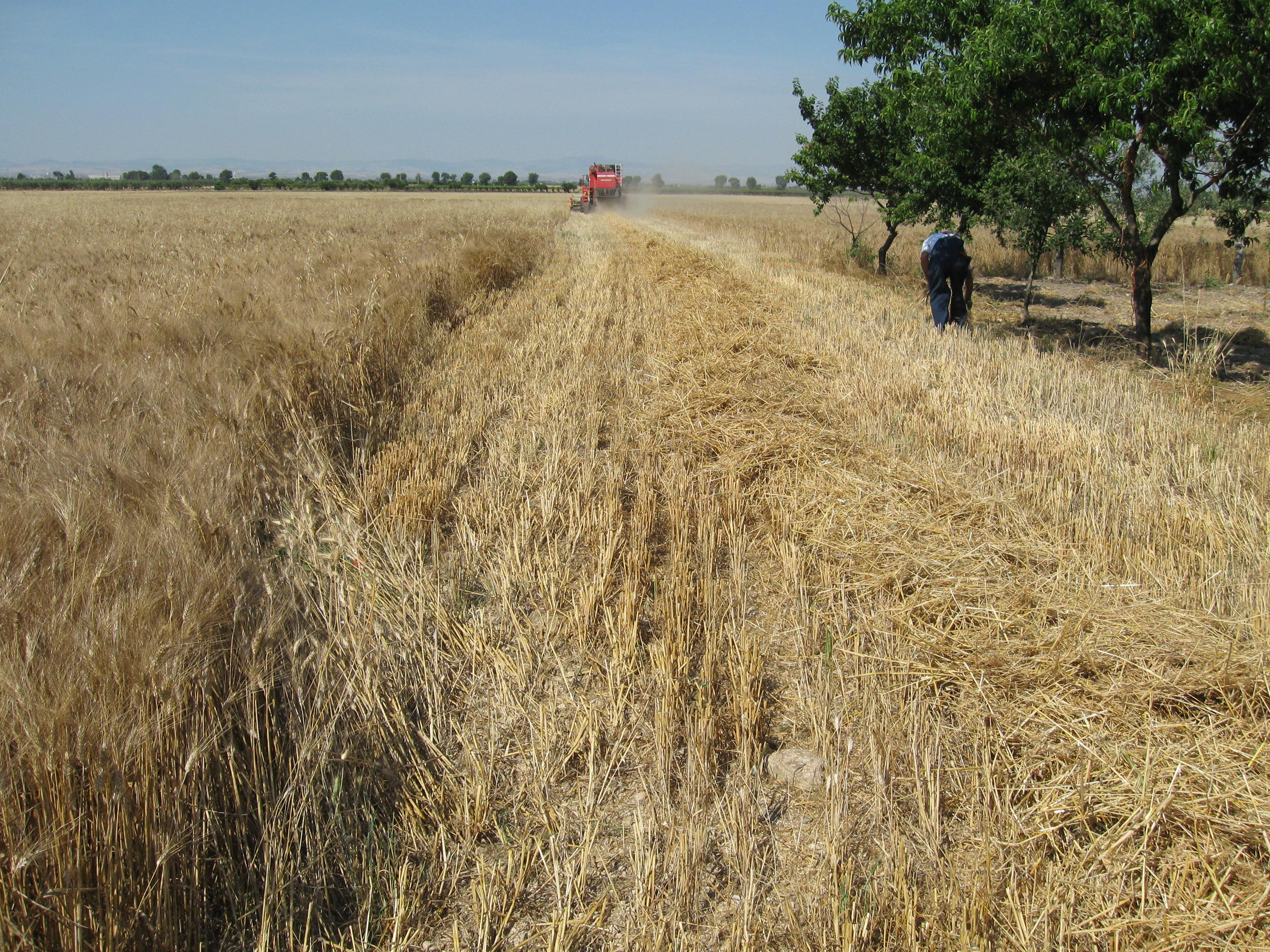 La produzione media nazionale di frumento nel decennio 1861-1870 si assesta a quasi 4 milioni di tonnellate. Al 2012 in Italia, il frumento tenero rende in media 5 tonnellate su ettaro, contro le 3 tonnellate per ettaro del frumento duro.